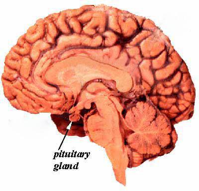 Bi sexual female brains